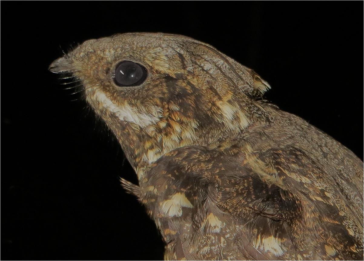Nightjar Bird uk Nightjars Are Nocturnal Birds